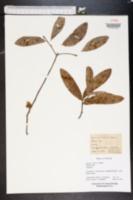 Quercus cinerea image