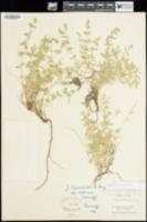 Galium watsonii image