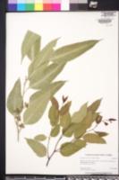 Eucalyptus grandis image