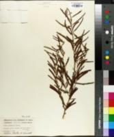 Chamaecrista nictitans var. leptadenia image