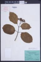 Image of Premna corymbosa