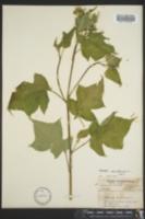 Polymnia canadensis image