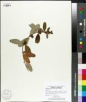 Triadenum walteri image
