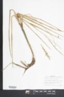 Glyceria obtusa image
