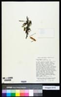 Acacia senegal image