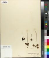 Image of Moneses grandiflora