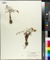 Image of Lomatium geyeri