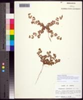 Image of Euphorbia cordifolia