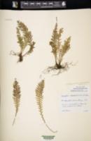 Image of Notogrammitis heterophylla