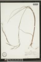 Image of Aristida affinis