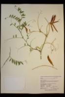 Lathyrus jepsonii var. californicus image