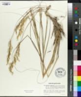 Image of Achnatherum calamagrostis