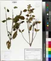 Image of Galeopsis speciosa