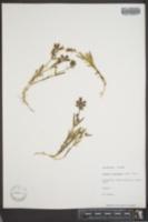 Lychnis taylorae image
