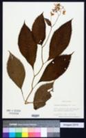 Image of Hydrangea alternifolia
