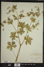 Geranium bicknellii image