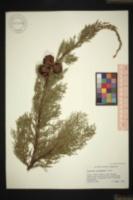 Cupressus duclouxiana image