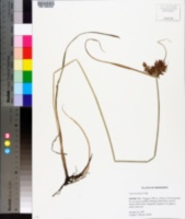 Cyperus pilosus image