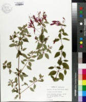 Image of Fuchsia coccinea