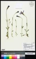 Gentianopsis detonsa image