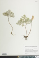 Image of Dicentra canadensis