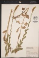 Solidago californica image