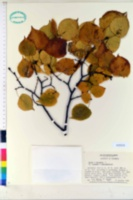 Image of Tilia amurensis