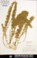 Dysphania botrys image