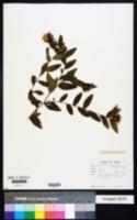 Image of Centaurea trichocephala