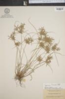 Image of Cyperus filicinus