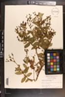 Image of Hypericum apocynifolium