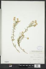 Ionactis linariifolia image