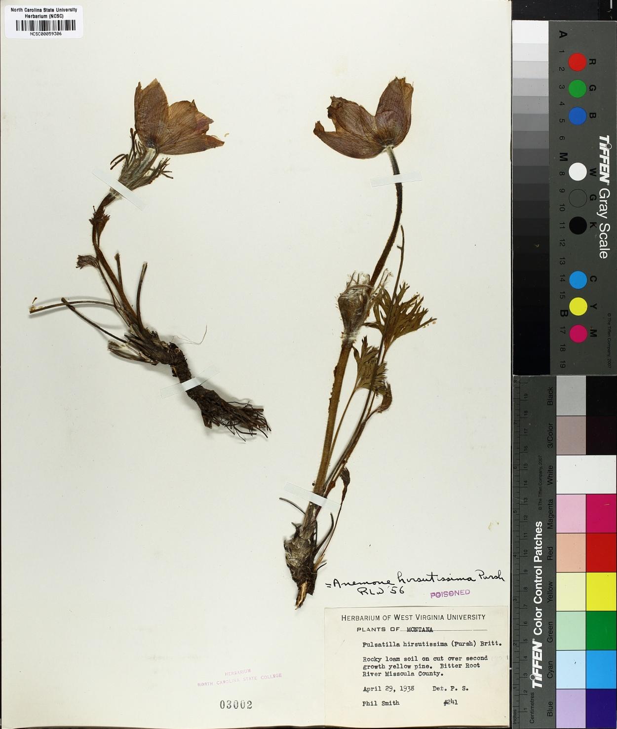 Anemone hirsutissima image