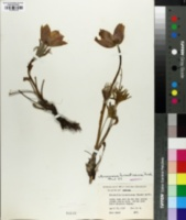 Image of Anemone hirsutissima