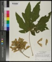 Acer macrophyllum image