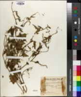 Image of Tragia geraniifolia
