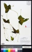 Sicyos microphyllus image