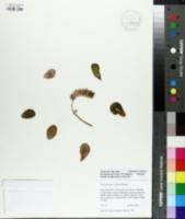 Image of Pachyphytum oviferum