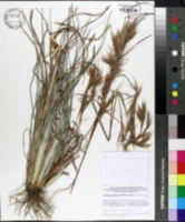 Image of Andropogon glaucopsis