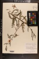 Chamaecrista deeringiana image