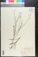 Image of Heterotheca floridana