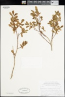 Vaccinium membranaceum image