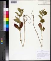 Image of Scutellaria alabamensis