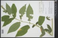 Stachys glandulosissima image