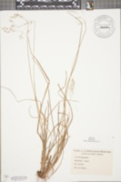 Image of Poa brachyphylla
