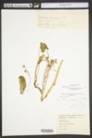 Packera aurea image