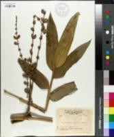 Image of Dendrocalamus latiflorus