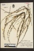 Agalinis fasciculata image