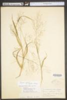 Panicum gattingeri image
