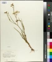 Image of Cynosciadium pinnatum